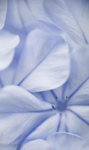 Plumbago flower detail of petals under diffused light